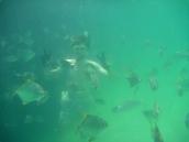 Fish Army